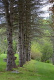 Pini nel Vermont Immagini Stock Libere da Diritti