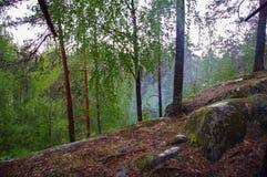 Pini selvatici all'alba durante l'alba in una bella foresta alpina Carelia, Russia dopo la pioggia Alta umidità dentro Fotografia Stock