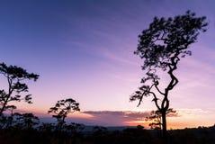 Pini in siluetta al tramonto fotografia stock libera da diritti