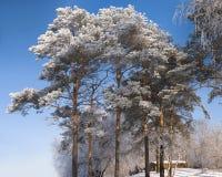 Pini sotto hoar-frost Immagini Stock Libere da Diritti