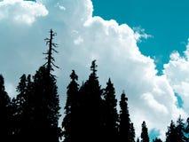 Pini su cielo blu con il fondo delle nuvole fotografia stock