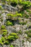 Pini sul fianco di una montagna fotografie stock libere da diritti