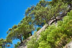 Pini sul pendio della montagna Fotografia Stock