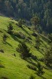 Pini sul pendio di montagna Immagine Stock Libera da Diritti