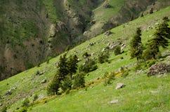 Pini sul pendio di montagna Fotografia Stock Libera da Diritti
