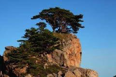 Pini sulle rocce Fotografia Stock