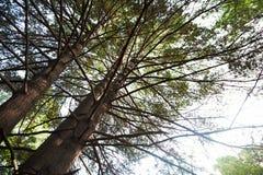 Pini in una foresta selvaggia Immagine Stock