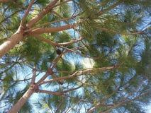 Pini verdi in primavera con i frutti ed il fondo del cielo blu Fotografia Stock Libera da Diritti