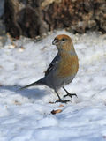 Pinicola enucleator. A female bird looking for food Stock Photography