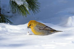 Pinicola enucleator. A female bird looking for food in the snow Stock Photos