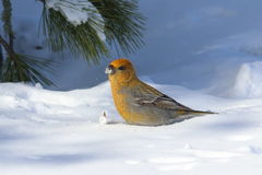Pinicola enucleator. The female birds on the background of snow Royalty Free Stock Photos