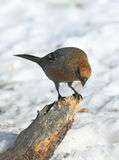 Pinicola enucleator. The female birds on the bough of a tree Royalty Free Stock Photography