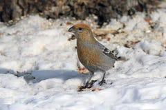 Pinicola enucleator. The female birds in Siberia Royalty Free Stock Photos