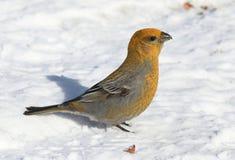 Pinicola enucleator. The female birds on the white snow Royalty Free Stock Photos