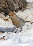Pinicola enucleator. The female birds on the Yamal Peninsula Royalty Free Stock Photography