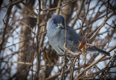 Pinion Jay. A pinion jay bird in a tree in the winter royalty free stock image