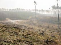 Pinjeskog Fotografering för Bildbyråer