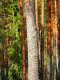 Pinjeskog Arkivbilder