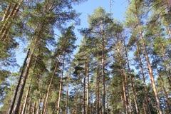 Pinjeskog Arkivbild