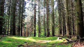 Pinjeskog efter gräs- nytt för regn naturligt aromatiskt royaltyfri bild