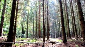 Pinjeskog efter nytt regn som är gräs- och arkivfoton
