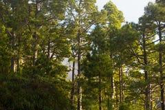 Pinjeskog frodiga gröna träd Hållbart klart ekosystem Pinuscanariensis, kanariefågelö Royaltyfri Fotografi