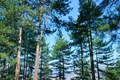 Pinjeskog: Höga treetops Royaltyfria Bilder