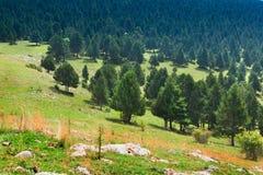 Pinjeskog i berg Royaltyfri Fotografi