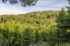 Pinjeskog i bergen royaltyfria bilder