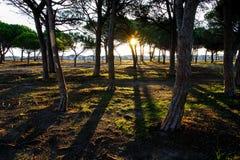 Pinjeskog i den kulöra vegetationen bak stranddyerna på gryning i Sardinia royaltyfri bild