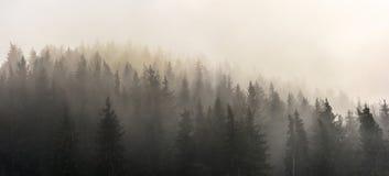 Pinjeskog i morgonsol Royaltyfri Bild