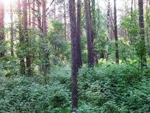 Pinjeskog i sommar 39 arkivfoton