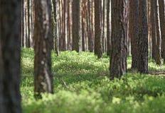 Pinjeskog i sommar- och gräsplanpinjeskog i sommar- och gräsplanbär Fotografering för Bildbyråer
