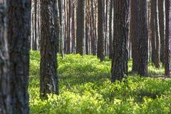 Pinjeskog i sommar- och gräsplanpinjeskog i sommar- och gräsplanbär Royaltyfria Foton