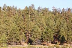 Pinjeskog i toppiga bergskedjan Nevada Mountains Royaltyfria Bilder