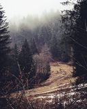 Pinjeskog i vinter med snö på jordningen arkivbild