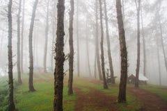 Pinjeskog med dimma Fotografering för Bildbyråer