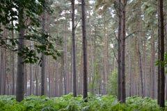 Pinjeskog med gröna ormbunkar under träd Royaltyfria Bilder