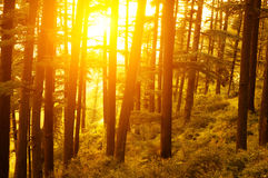 Pinjeskog med guld- solljus Arkivbilder