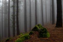 pinjeskog och dimma Arkivbilder