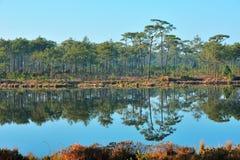 Pinjeskog och klar sjö Arkivbild