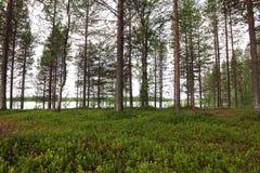 Pinjeskog och sjö Arkivbild