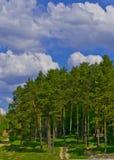 Pinjeskog på en bakgrund av blå himmel med moln och vägen Arkivbilder