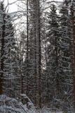 Pinjeskog på vintern Royaltyfri Foto