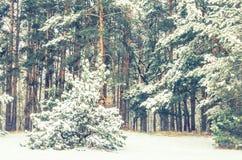 Pinjeskog som täckas med snö Arkivbild