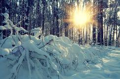 Pinjeskog som täckas med snö Arkivbilder