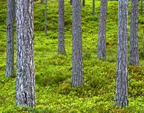 Pinjeskog stammar av träd Gröna och röda färger n Fotografering för Bildbyråer