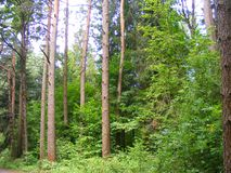 Pinjeskogbygd, beskydd royaltyfria bilder