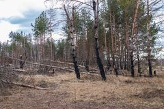 Pinjeskogen efter en brand, katastrofen, brand brände träd royaltyfria foton