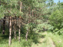 Pinjeskogen i solig dag Royaltyfria Bilder